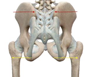 産後の骨盤の図